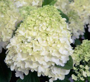 Hydrangea-White-Wedding