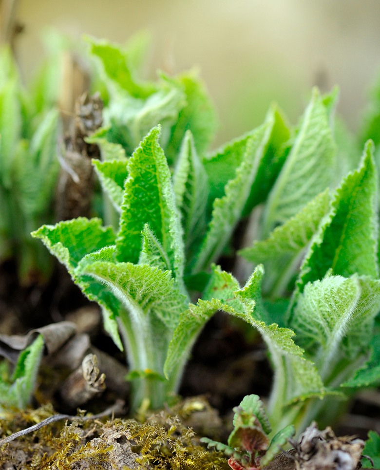 Sage Sprouts