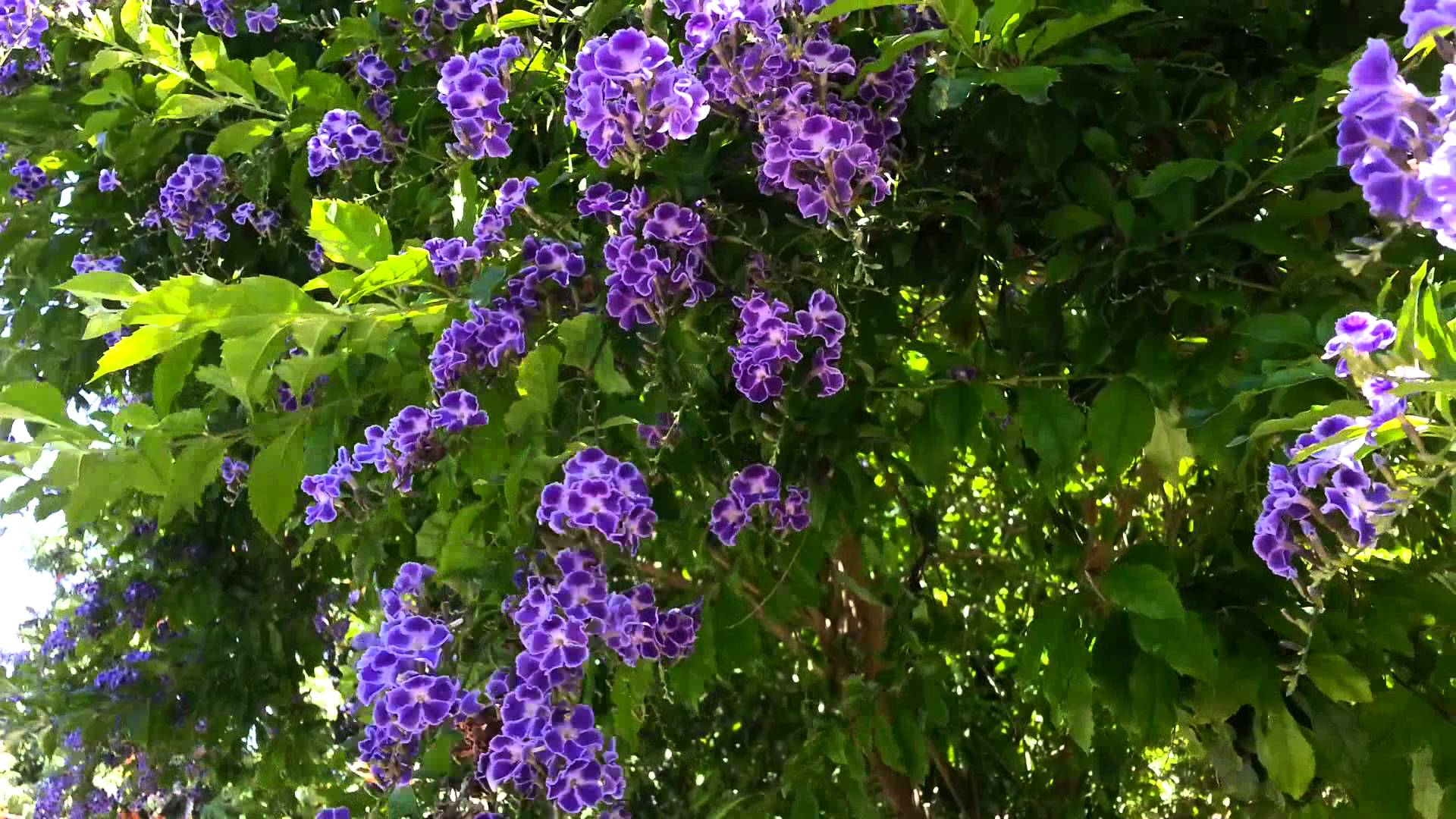 purple-duranta